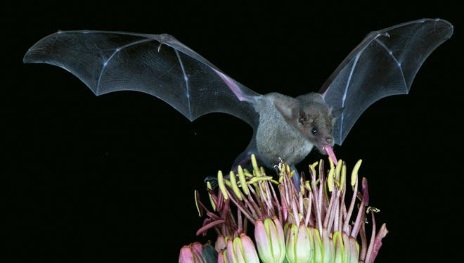 The lesser long-nosed bat is an important pollinator of cactus in the American Southwest.