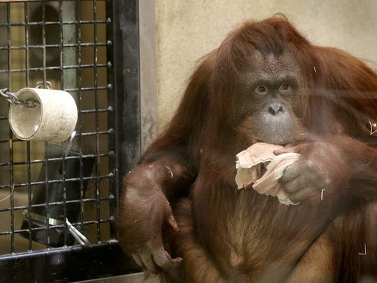 The Milwaukee County Zoo is hosting a M.O.M.(Missing Orangutan Mothers) event in the Primates of the World building on Mother's Day. This photo is of Rayma, an orangutan who was transferred from Milwaukee to the Phoenix Zoo in April.
