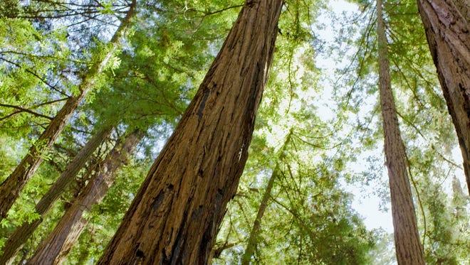 Giant redwood trees, Felton, Calif.