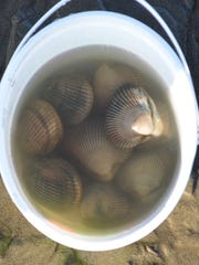 Here's what a limit of Garibaldi cockles look like fresh from the clam flats. Time required to get them? Figure 15 to 20 minutes.