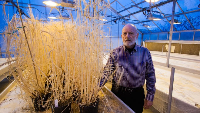 Russell Freed, MSU professor emeritus and international agronomist, poses with Spartan barley. New Holland Brewing Co. named a beer brewed with malt from the barley after him due to his efforts to revive the grain.