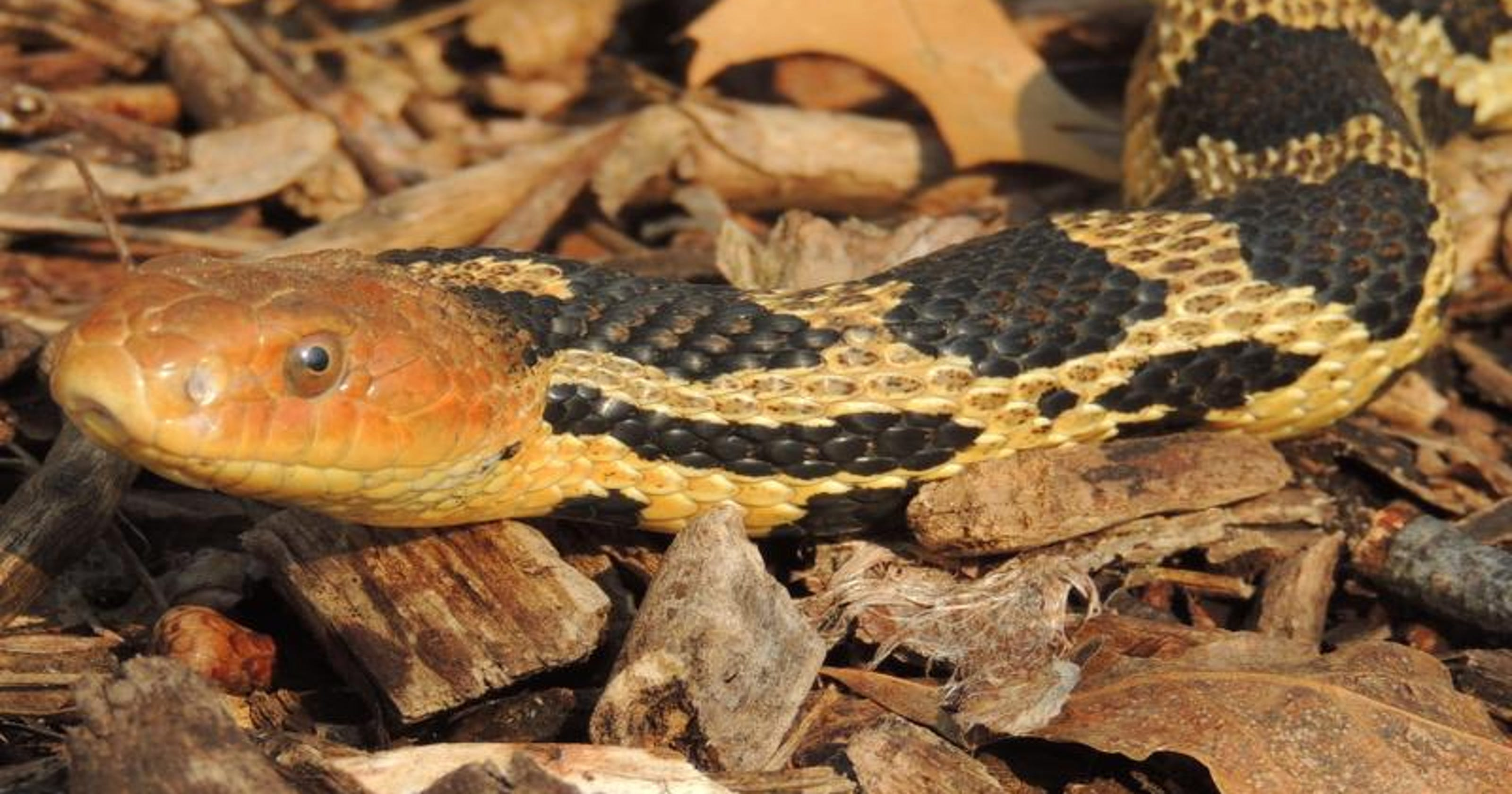 Danger ahead? A guide to species of snakes you may encounter