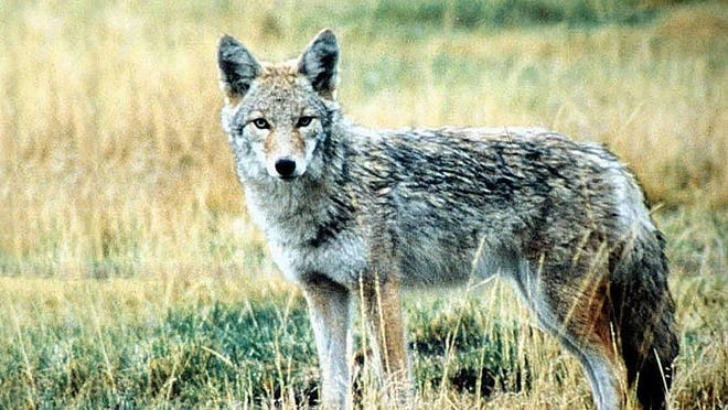 Bridgewater police have asked township residents to be on the lookout for coyotes.