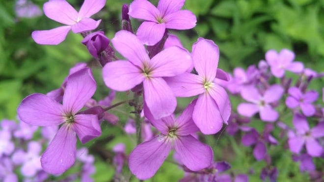 Dame's rocket is one of the most beautiful and alluring of the dangerous invasive plant species found in our area.