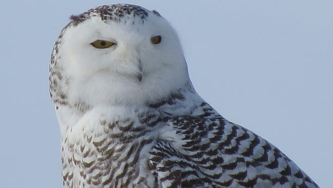 A snowy owl was photographed by Fond du Lac resident Kerry Sehloff.
