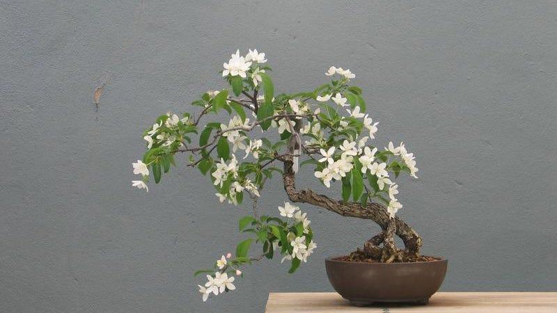 Bonsai The Haiku Of The Tree World