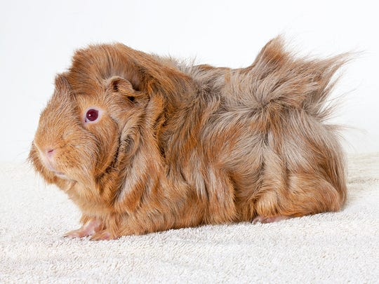 Coffee, 8-month-old male guinea pig. No. 95098,