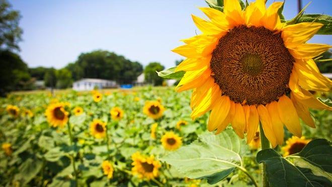 Shreveport-Bossier Convention & Tourist BureauThe annual Sunflower Trail and Festival will be held June 20 in Gilliam.