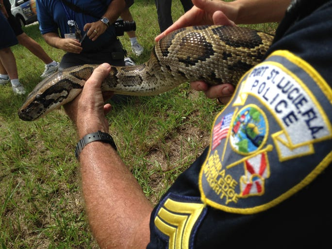 A Port St. Lucie police sergeant, who was responding to 911 calls of a very large snake, located a 12-foot, 120 pound Burmese python in waist-high brush Friday morning.