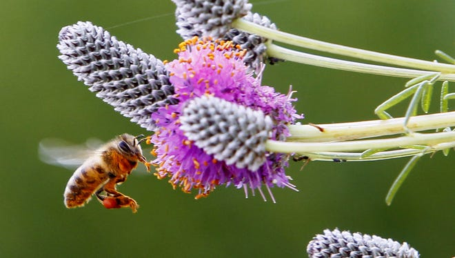 Plants are often sprayed with neonicotinoids before being sold to customers. This class of neurotoxic pesticide is toxic to bees and other pollinators.