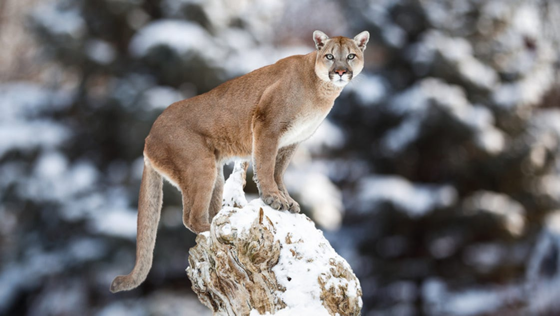 Mountain Lion C 470 Have you seen the Mequ...