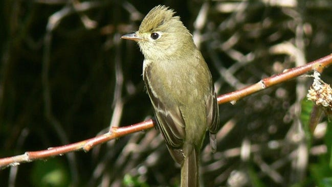 The Pacific-slope flycatcher is found throughout the Pacific Coast states