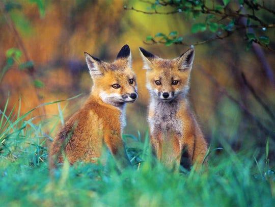 Red fox kits, Wayne County