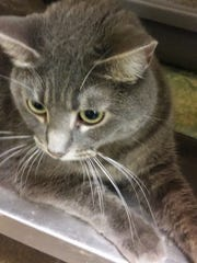 Lady McBeth is a 3-year-old, spayed female all gray