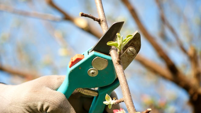 Pruning shouldn't be for controlling size, but for enhancing the health and beauty of the tree or shrub.
