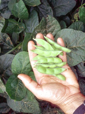 This undated photo shows edamame harvest in New Paltz, N.Y. Freshly picked, green, young soybeans, known as edamame, are easy to grow and combine the flavors and textures of fresh lima beans and peas.