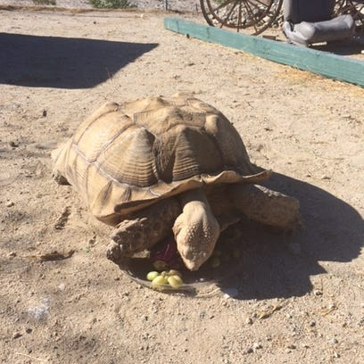 A large Sulcata (African spurred) tortoise eats grape