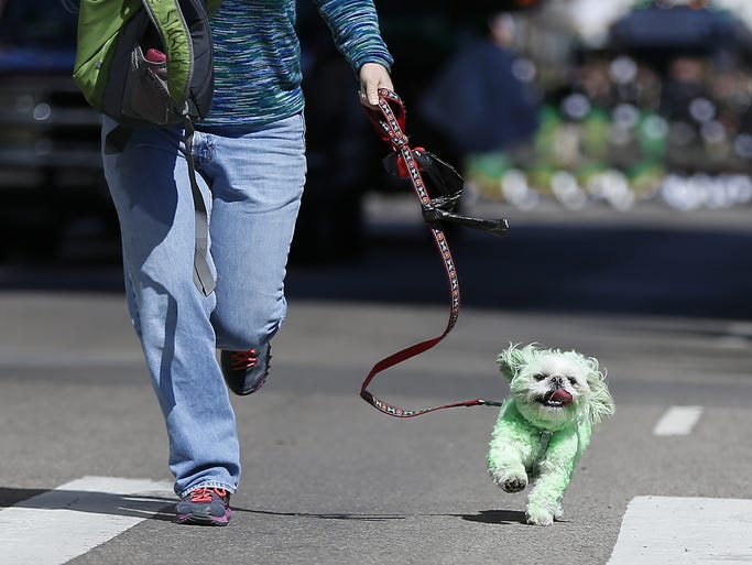 A green dog made its way down Sycamore during the annual Cincinnati St. Patricks Day Parade downtown.