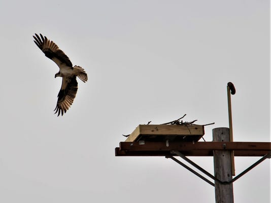 F-Ospreys-InFlight.jpg