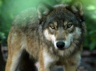 Letter: 'Pro-wolf' writers don't know Wisconsin