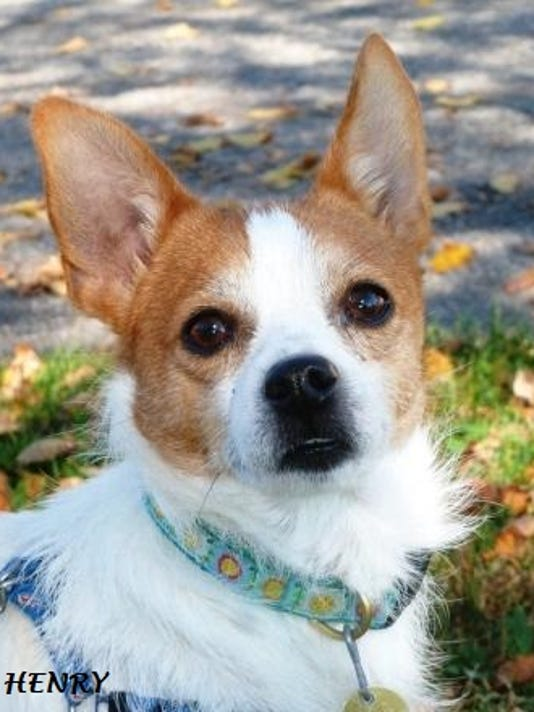 Henry the Chihuahua Terrier mix 102814 (1).JPG