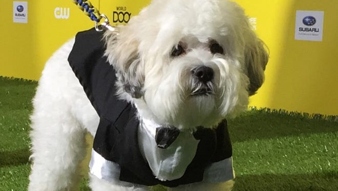 Hank walks the green carpet at the World Dog Awards in Santa Monica, Calif.