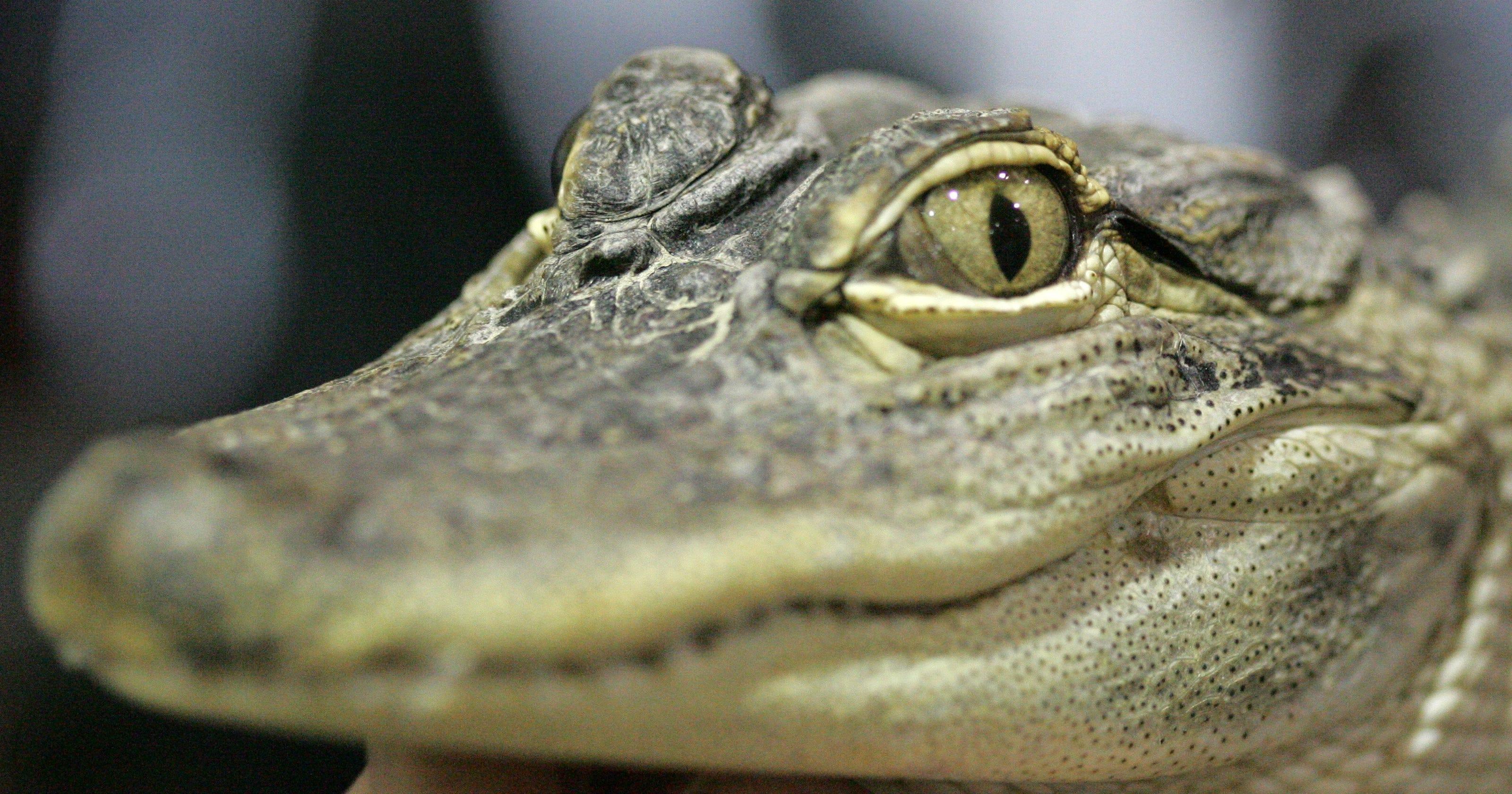 Florida man accused of tossing gator at drive-thru