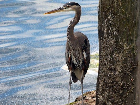 Standalone-Standing-Heron.JPG