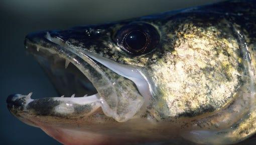 Walleye head game fish