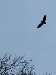 A bald eagle flies above the Charlotte ferry parking