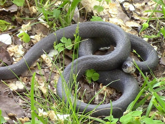 The black racer is known for its speed and can travel