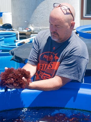 Michael Graham holds a bunch of dulse, a red seaweed used by chefs on the Monterey Peninsula and elsewhere for upscale dishes.