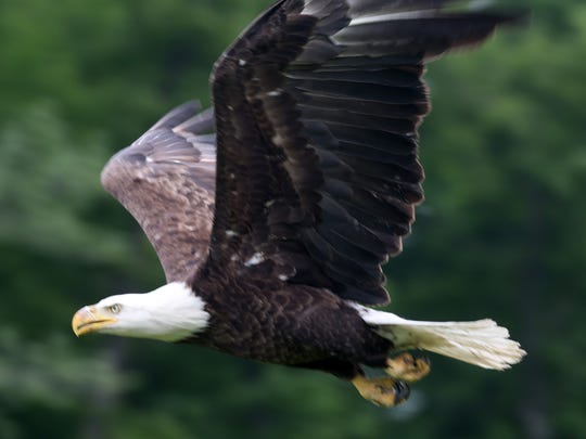 Eagles and other birds of prey, as well as entertainment, food and other activities will be featured at Teatown Lake Reservation on Feb. 6.