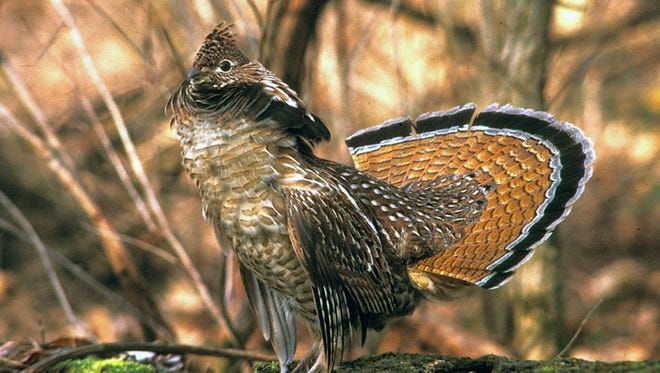 A partnership between the USDA Natural Resources Conservation Service (NRCS), the Ruffed Grouse Society and the Wisconsin Department of Natural Resources (DNR) was formalized to providing funding for a new Forest Wildlife Specialist position in Northwest Wisconsin.