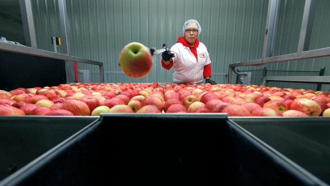 Josefina Hernandez of Sodus removes unwanted Gala apples and leaves during the washing, drying and waxing process at Empire Fruit Growers Co-op in Wolcott.
