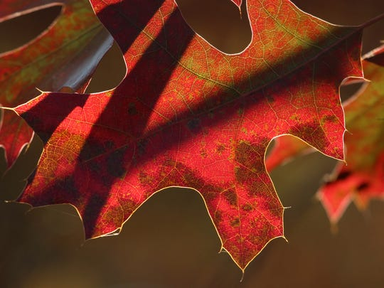 An oak leaf near Nine Mile County Forest Recreation Area glows in late-afternoon sunshine in September 2014.