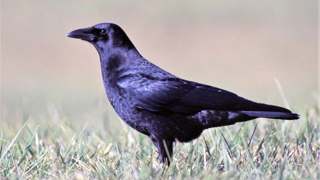 Crows have been equally revered and reviled by humans throughout history.