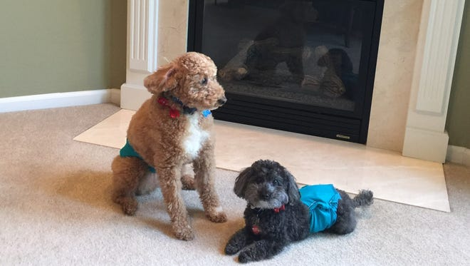 Toy poodle Stanley (right) was recently snatched by a coyote in the backyard of Jim and Toni Tesen's Northville Township home. Their other dog, Shadow, was outside at the same time.