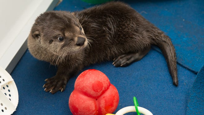 A three month old orphaned river otter being cared for in the Veterinary Medical Cetner at the Oregon Zoo.