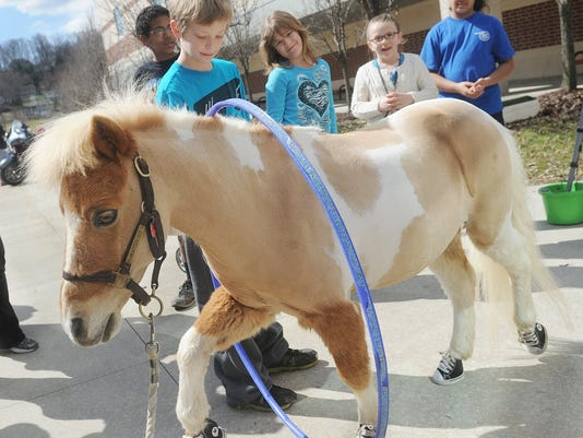"""""""Chipper"""", a minature horse from EquiTeam support services, appeared at the Autism Walk in 2014. (I don't think Chipper is a service animal as defined by the proposed York Suburban policy, but Chipper helps therapists working with children who have communication or sensory issues.) (File photo)"""
