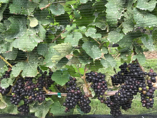 Pinot Noir grapes grow at Heart and Hands Wine Company