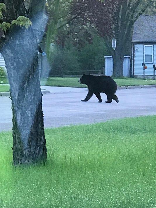 Bear visits Wisconsin Rapids