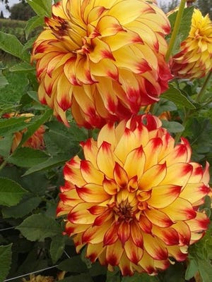 The Rochester Dahlia Society will be one of the exhibitors at this Saturday's plant sale at the Arboretum. (Provided photo)