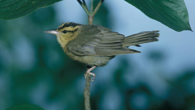 Wormeating warblers are rarely seen, but are more often heard with their bubbling trills.
