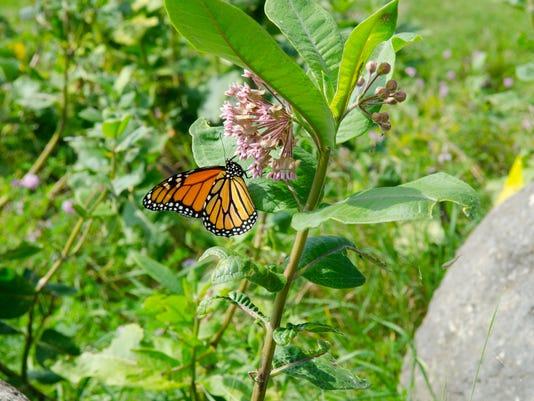 636619950078764726-Monarch-on-milkweed.jpg