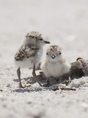 A pair of snowy plover chicks loaf on the south end