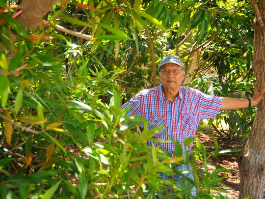 The Brevard Tropical Fruit Club will be holding its annual tree sale on Saturday, April 28th, held each year in the field next to the Melbourne Auditorium on Hibiscus. Asit Ghosh in the front yard of his Rockledge home, in the foreground is a rose apple tree and he is standing by a mango tree.