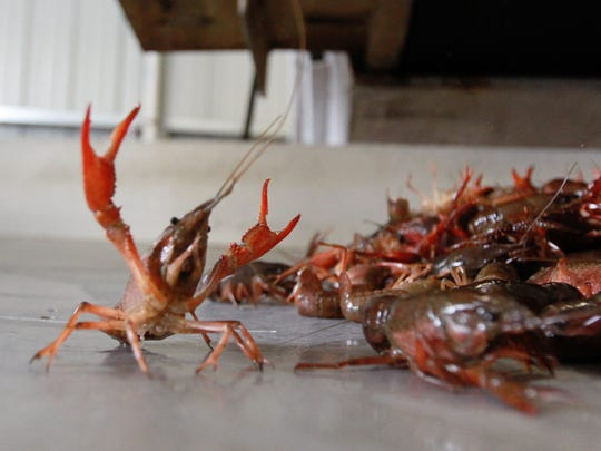 This Advertiser file photo shows a crawfish raising its claws after being washed and purged at Crawfish Town USA in Breaux Bridge.