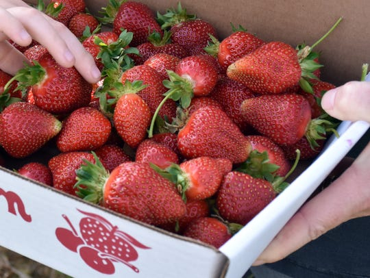 Customers fill a bin at Troyers' strawberry patch at