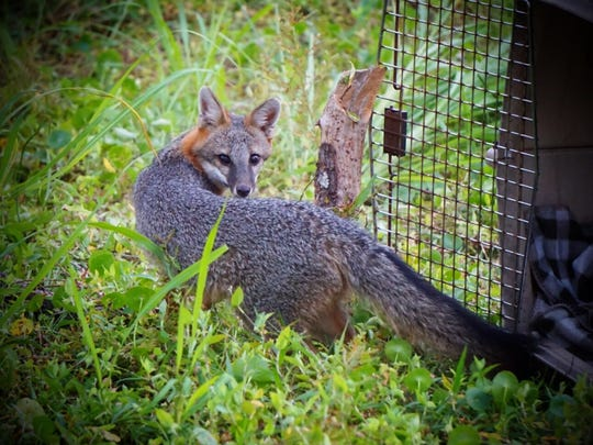 A gray fox turns back for one last look as she is released by staff from the von Arx Wildlife Hospital. The fox was found injured near a busy road in North Naples.